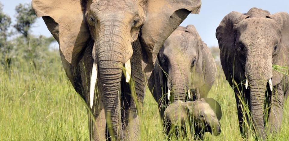 Elephants in the Murchison Falls National Park