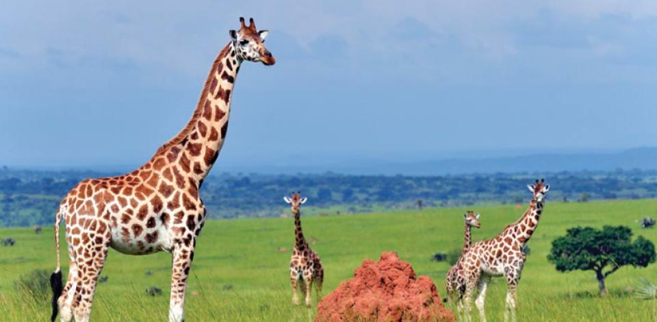 The Rothschild Giraffe in Murchison Falls National Park